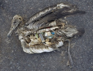 plastic in birds stomachs